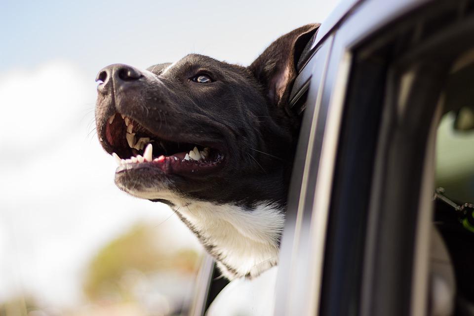 hond uit auto